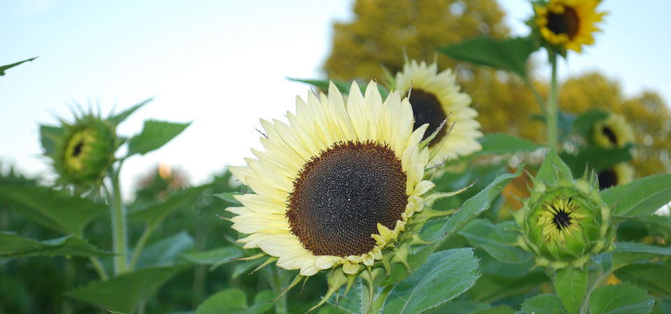 Sunflower2013